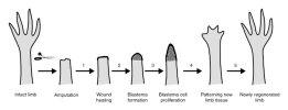 steps in limb regeneration.jpg