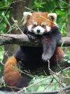 Red Panda (Ailurus fulgens styani) at Binder Park Zoo.jpg