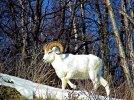 ta_sheep_en.jpg