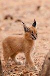 Lynx kid.jpg