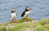 Puffin-Facts-Image-2.jpg