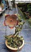 Edithcolea grandis (Kenia) _ 5 seeds.jpg