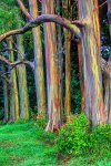 Rainbow Eucalyptus Trees Look Spray-Painted.jpg