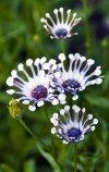 Whirligig daisies.jpg
