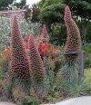 Echium wildpretii Tower of Jewels.jpg