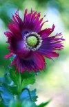 Poppy 'Heirloom' ~ 1st Flower of its kind this Season.jpg