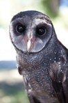 Phoenix the Sooty Owl.jpg