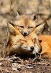 This mama and baby fox.jpg