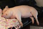 pigs dreaming.jpg