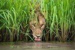 Nature Lion Image 1.jpg
