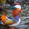 Nature Mandarin Duck Image 2.jpg