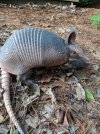 March of the Armadillo The odd little armored animal that's settling into St_ Louis.jpg