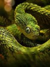 African bush viper.jpg