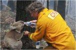 2009-02-10-Brandmannen-David-Tree-ger-sitt-vatten-till-en-koala,-Australien-.jpg