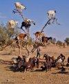 goats_tree_morocco.jpg