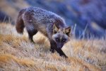 fox-species-photography-4-1.jpg