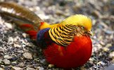 Golden pheasant2.jpg