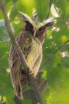 Crested Owl.jpg